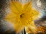 Daffodil ~ For St Davids Day ~Welsh National Day