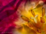 Tulips'n  Silk