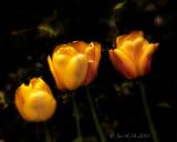 Sweet Yellow Tulips