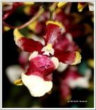 IMG_0101 Orchidée0001.jpg
