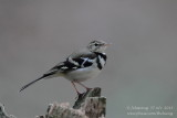 forest_wagtail_dendronanthus_indicus