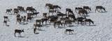 The Reindeers