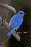 Eastern Bluebird - Flash