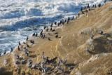 Pelicans near Point Loma