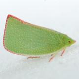 Siphanta acuta - Torpedo Bug