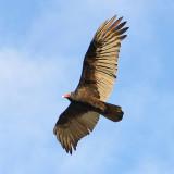 Turkey Vulture - El Centro