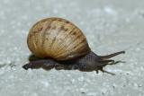 Large Snail - Santee