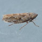 Hopper - Giprus genus