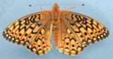 Callippe Fritillary - Speyeria callippe