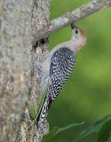 Red-bellied Woodpecker juvenile