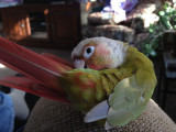 Our two Green Cheek Conures
