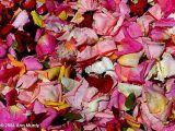 Rose petals and water drops