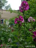 Hollyhocks at Sena Plaza