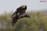 Corvo imperiale (Corvus corax ssp tingitanus)