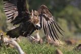 Avvoltoio monaco (Aegypius monachus)