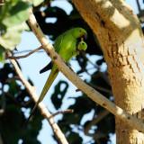 Rose-ringed-Parakeet-bp.jpg