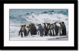 Another Group of Penguins Readying to Go Back into the Water But....