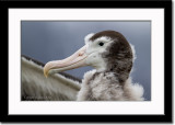 Close-up of Wandering Albatross Chick