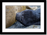 Nursing Elephant Seal Cub
