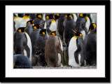 A Brown King Penguin