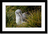 A Fierce Looking Grey-Headed Albatross