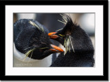 Rockhopper Penguins Showing Affection to Each Other