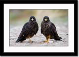 Two Almost Identical Caracaras
