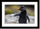 Cute Pose of a Rockhopper Penguin