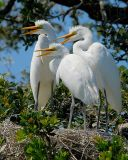 Great Egrets 3juvie6211.jpg