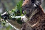 3514 Koala