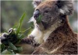 3516 Koala