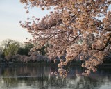 Cherry blossom at sunrise