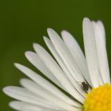 Mini-Insecte sur Marguerite