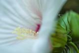 Hibiscus et Insecte