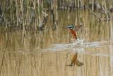 Kingfisher (IJsvogel)