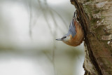 Nuthatch (Boomklever)