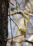 April Goldfinch