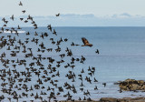 Common buzzard and starlings