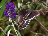 Tiger Swallowtail - black female