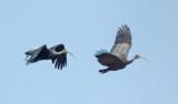 Birds in Cambodia