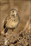 _40C0131 Close-up Pipit damerique bdf.jpg