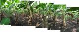 Banana Grove, Hampi (11 Nov 2012)
