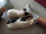 Rahil's two guinea pigs, Bell and Hey