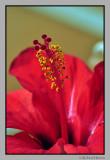 Meloneras flowers