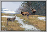 Deer searching the first patches bare of snow # 2
