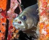 Whitespotted Soapfish P7290036