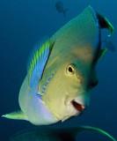 Blue Angelfish P7290114