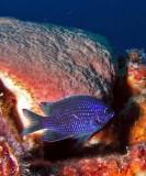 Purple Reeffish P7290131