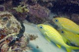 Spotted Trunkfish and French Grunts