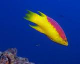 Spanish Hotfish
